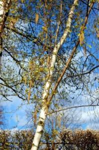 Pollenflug Birke Allergie